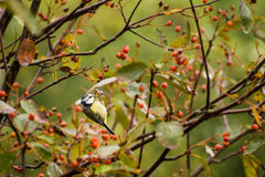 Blue Tit eating red berry Royalty Free Stock Photo