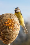 Blue tit eating seeds of sunflower Royalty Free Stock Photo