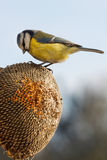 Blue tit eating seeds of sunflower Royalty Free Stock Photos