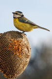 Blue tit eating seeds of sunflower Stock Images