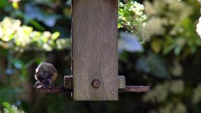 Blue tit eating seeds, sunflower hearts, from a wooden bird feeder in a British garden during summer. 4K video clip of blue tit bird eating seeds, sunflower stock video