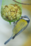 Blue tit eats nuts Stock Photography