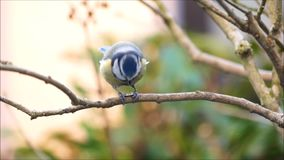 Blue tit eats a sunflower seed stock footage