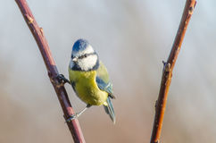 Blue tit. A blue tit enjoying autumn royalty free stock images