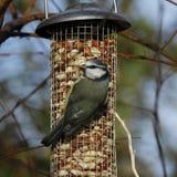 Blue Tit on garden feeder Stock Images