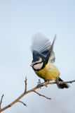 Blue Tit with extended wings. A Blue Tit prepares to take flight from a frosted winter branch Royalty Free Stock Images