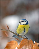Blue tit face to face Royalty Free Stock Images