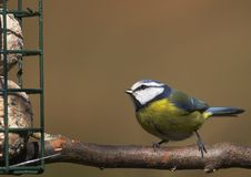 Blue-Tit at Feeder. A Blue-Tit eyes up it's breakfast at a feeding station Stock Photos