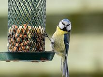Blue tit on a feeder Royalty Free Stock Image