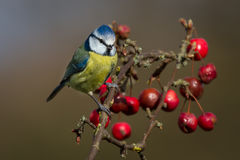Blue tit feeding Stock Photos