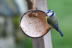 A blue tit feeding from half a coconut shell. A blue tit feeding from bird feeder in the shape of half a coconut shell filled with a mixture of suet and crushed stock photo