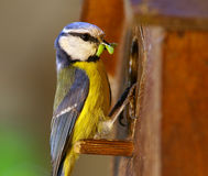 Blue tit feeding its offspring Royalty Free Stock Photos