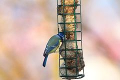 Blue tit feeding on lard Royalty Free Stock Photos