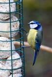 Blue tit feeding Stock Image