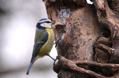 A blue tit feeding from my tree feeder. Blue tits are a common garden bird in the UK. They take readily to nesting in nest boxes and entertain for hours doing Stock Photo
