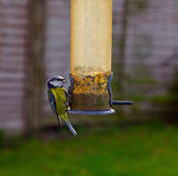Blue Tit feeding with seed in beak. Blue Tit caught with a seed in its beak feeding from a hanging bird feeder stock images