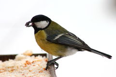 Blue tit feeding in winter. Hungry tit with sunflower seed in beak Royalty Free Stock Images