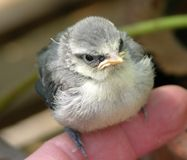 Blue tit fledgling chick stock images