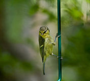 Blue Tit fledgling clinging Royalty Free Stock Images