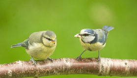 Blue tit fledgling and mother bird. Stock Photos