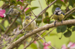 Blue Tit Fledgling and Parent in a Bush Royalty Free Stock Photos
