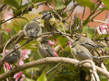 Blue Tit with Fledglings Royalty Free Stock Photos