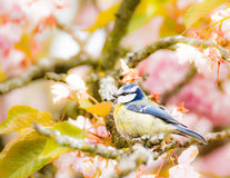Blue tit in a flowering cherry tree Royalty Free Stock Image