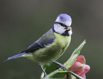 Blue tit with food Stock Image