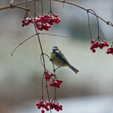 Blue tit on frosted branch Stock Image