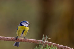 Blue Tit in the Garden Royalty Free Stock Photos