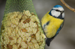 Blue tit getting ready to eat Royalty Free Stock Photo