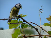 Blue tit on a grape twine Stock Photo