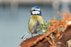 Blue tit near the nest Stock Images