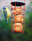 Blue tit on a hanging feeder of fat balls Stock Photography