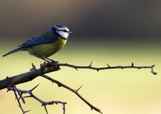 Blue-Tit on Hawthorn. A Blue-Tit perched on a hawthorn branch on a winters day Royalty Free Stock Image
