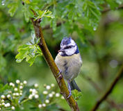 Blue Tit in Hawthorn Stock Images
