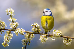 Blue tit in Hawthorn blossom Stock Photo