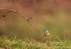Blue Tit on Hawthorn Plant Royalty Free Stock Photography