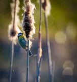 Blue tit helping with seed dispersal on a bulrush Royalty Free Stock Image