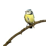 Blue tit isolated on white Royalty Free Stock Photo