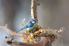Blue tit in its nest Royalty Free Stock Photography