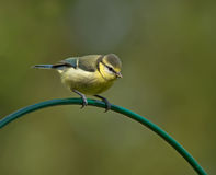 Blue Tit,Juvenile. A young Blue Tit on a curved perch Stock Photography