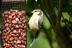 Blue Tit juvenile on feeder Stock Photos