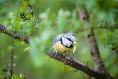 Blue tit (lat. Parus caeruleus) Stock Image