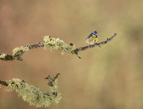 Blue Tit on liken branch Royalty Free Stock Photos