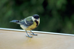 Blue Tit, little bird Stock Image