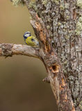 Blue Tit on a log Royalty Free Stock Photography