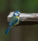 Blue Tit on a log Stock Images