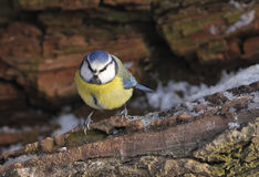 Blue Tit On log with snow Stock Photo