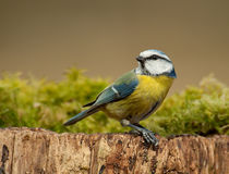 Blue tit looking back. Blue tit in winter in the forest Royalty Free Stock Images